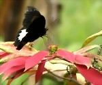 Bild von 5 DAYS / 4 NIGHTS BIAK - YAPEN WILD ORCHIDS & LESSER BIRDS OF PARADISE OBSERVE